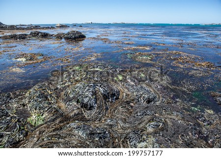 Kelp, growing in shallow water, grows right up to the rocky beach near Mendocino in Northern California. The Pacific Ocean has worn Northern California's coastline into dramatic scenery.  - stock photo