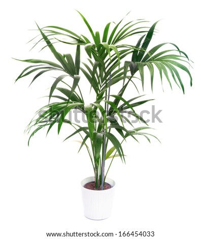 Kentia Palm Tree  - stock photo
