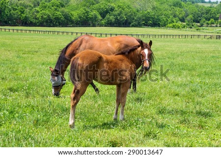 Kentucky Thoroughbreds. Thoroughbred mare and foal grazing in a Kentucky bluegrass pasture. Kentucky is world renowned for it's spectacular thoroughbred horses. - stock photo