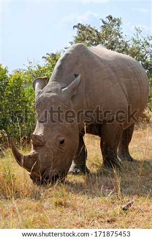 KENYA - AUGUST 10: An African black rhinoceros (Diceros bicornis minor) on the Masai Mara National Reserve safari in southwestern Kenya. - stock photo
