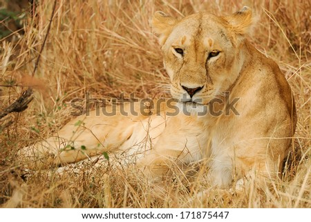 KENYA - AUGUST 13: An African Lion (Panthera leo) on the Masai Mara National Reserve safari in southwestern Kenya. - stock photo