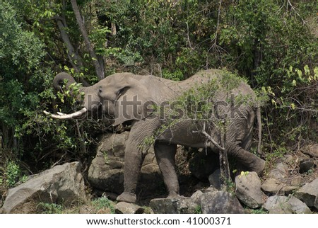 Kenyan Elephant - stock photo