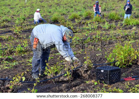 KERN COUNTY, CA - APR 8, 2015: A Mexican man working in a  San Joaquin Valley vineyard begins early in the morning to pull weeds and trim plants. - stock photo