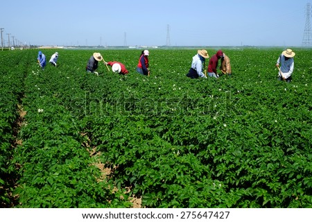 KERN COUNTY, CA - MAY 6, 2015: Mexican-American farm workers are hoeing between rows of potatoes on this large Central California farm. - stock photo