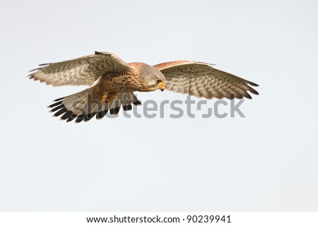 kerstel flying in the sky - stock photo