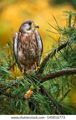 kestrel - stock photo