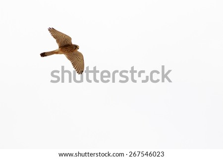 Kestrel (Falco tinnunculus) flying on a blue sky background - stock photo