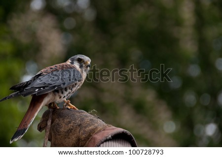 Kestrel Falco Tinnunculus perched on a falconer's glove - stock photo