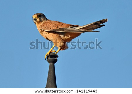 Kestrel Leaning on a Pole over a blue sky - stock photo