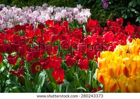 KEUKENHOF GARDEN, NETHERLANDS. Keukenhof is the world's largest flower garden. Keukenhof Garden, Lisse, Netherlands - May 11, 2015. - stock photo