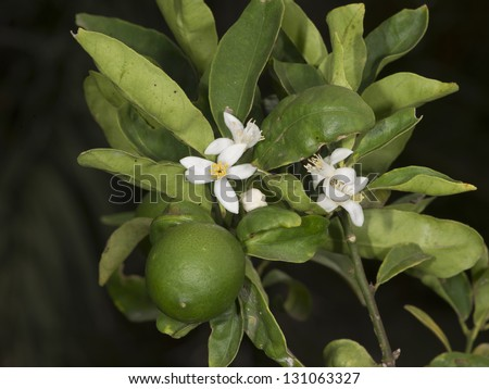 Key Lime (Citrus aurantiifolia) used for caipirinha, a brazilian drink - stock photo