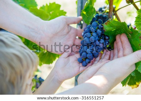 Kid and adult, hands of father and son with blue grapes ready to harvest in an established winery - stock photo