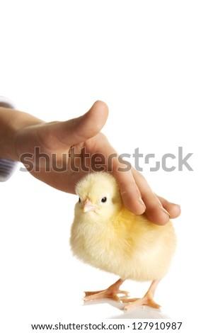 Kid pet little chicken - stock photo
