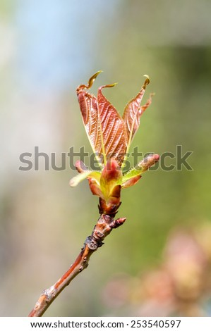 kidney tree blossoming in the spring in nature - stock photo
