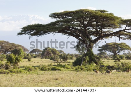 Kilimanjaro with snow cap seen from Amboseli National Park in Kenya with some baboons under a tree in the foreground. - stock photo