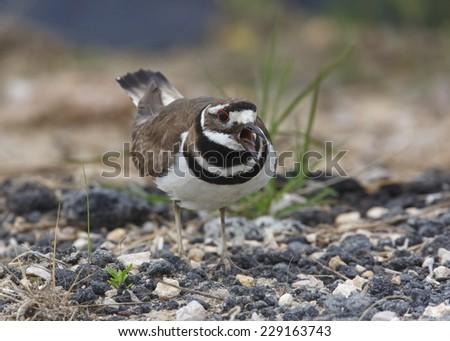 Killdeer (Charadrius vociferus) Calling and Defending its Nesting Territory - Texas - stock photo