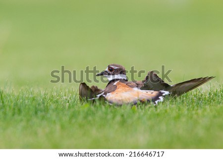 Killdeer doing its broken wing act to fool predators  away from its nest and young.  - stock photo