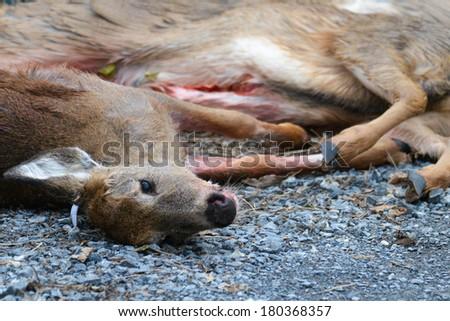 Killed deer by hunters lay on asphalt road - stock photo