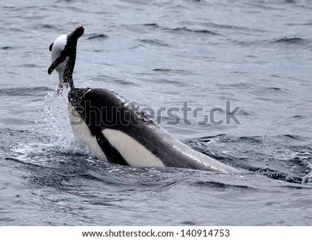 Killer Whale Catching Gentoo Penguin - stock photo