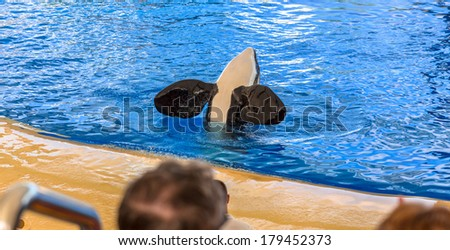 Killer whale greeting the audience with its flippers. - stock photo