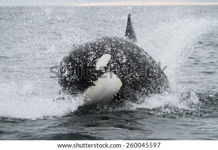 Killer whale hunting salmon - stock photo