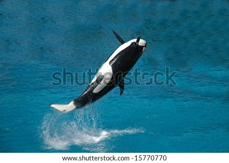 Killer whale jumping out from water and splashes a lot of water. - stock photo
