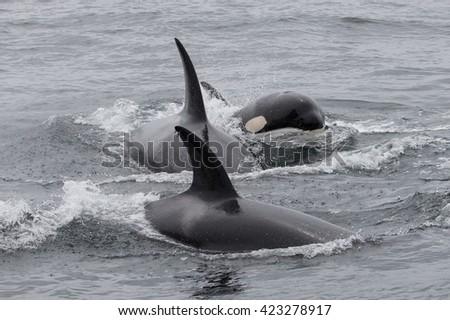 Killer Whale - Orcinus Orca - stock photo