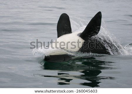 Killer whale playing - stock photo