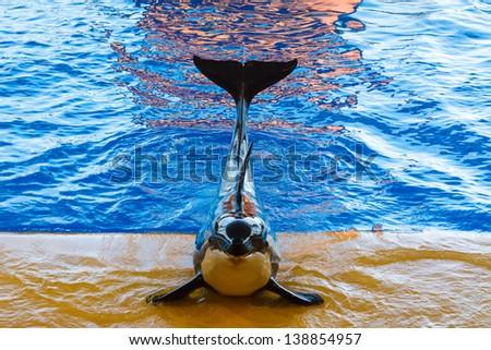 Killer Whale show at the aquarium - stock photo