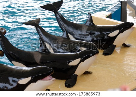 Killerwhales posing in waterpark - stock photo
