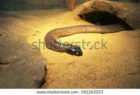 King Brown or Mulga snake (Pseudechis Australis) - stock photo