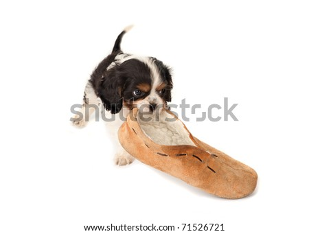 King Charles puppy dog playing with an old slipper - stock photo
