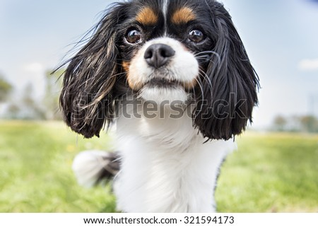 King Charles Spaniel playing outside - stock photo