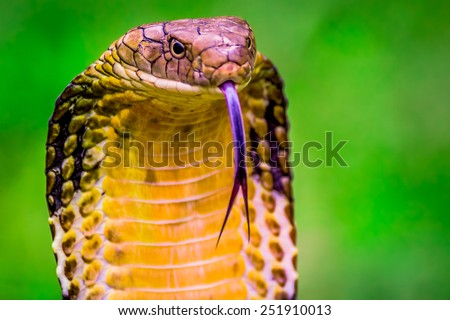 King Cobra (Ophiophagus hannah) The world's longest venomous snake - stock photo