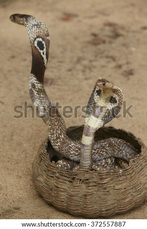 King Cobras dancing in the Basket - stock photo