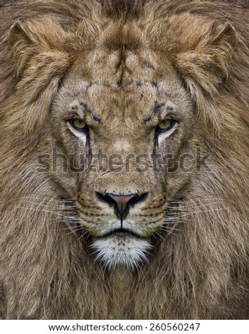 king leon in front view - stock photo