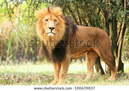King of the jungle - stock photo