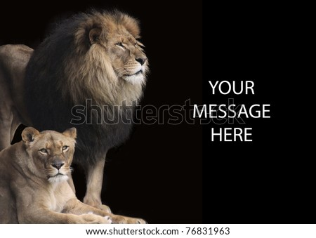 King of the Jungle is an apt description for this fine lion with his equally impressive lioness by his side. They make a powerful background or stationary when you want to send a strong message. - stock photo