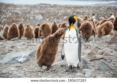 King penguin and chick in South Georgia, Antarctica. - stock photo