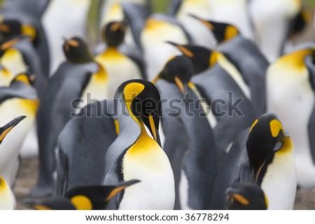King penguin (Aptenodytes patagonicus) preening at Volunteer Point, Falkland Islands - stock photo