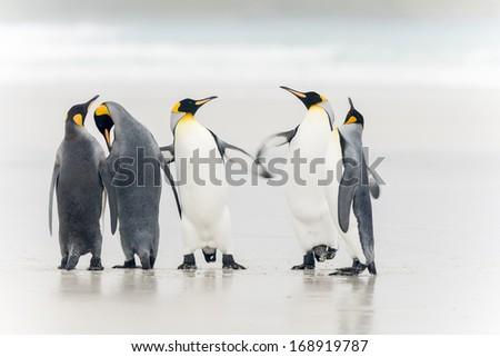 King Penguin at Falkland islands - stock photo
