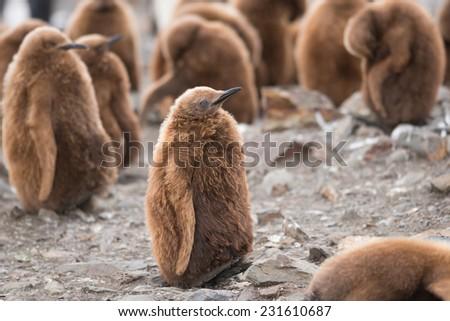 King penguin chick in South Georgia, Antarctica - stock photo