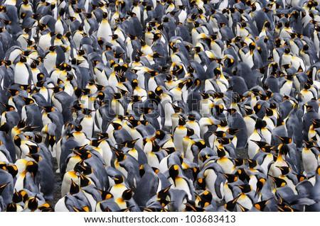 King penguin colony. - stock photo