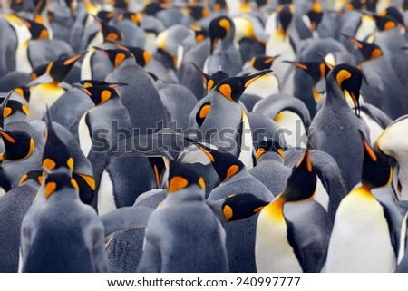 King penguin colony, many birds together, in Falkland Islands - stock photo