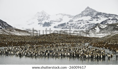 King penguin colony with mountain background - stock photo