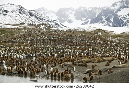 King penguin colony with mountain background -South Georgia - stock photo