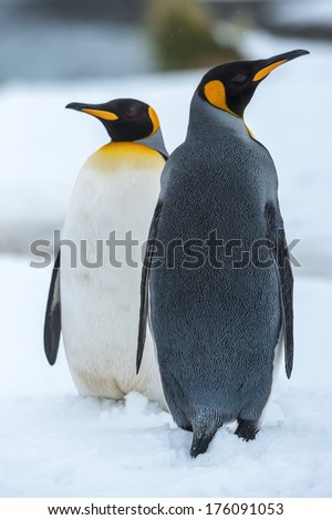 King penguin couple in love, standing together. - stock photo
