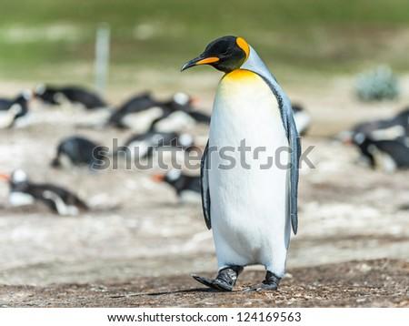 King penguin.  Falkland Islands, South Atlantic Ocean, British Overseas Territory - stock photo