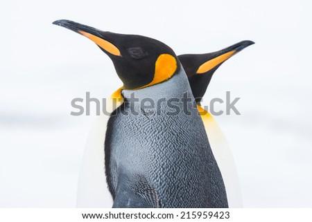 King penguin, South Georgia, Antarctica - stock photo