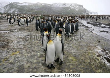 King Penguins, Aptenodytes patagonicus, in Antarctica - stock photo